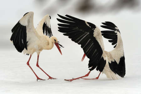 Two white stork in winter. Stork with open wing. White stork in the nature habitat. Wildlife scene from the nature. Beautiful srork dance