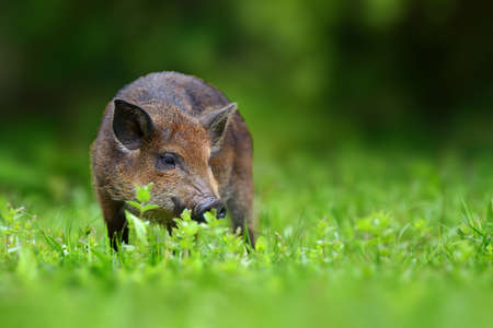 Big Wild boar. Summer in the forest. Sus scrofa, summer forest in background. Wildlife scene from nature.