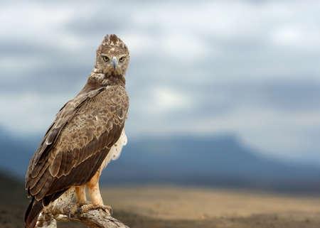 Tawny eagle (Aquila rapax) sitting on a branch tree, looking for prey. Wildlife photography. National park of Kenya, Africa Lizenzfreie Bilder