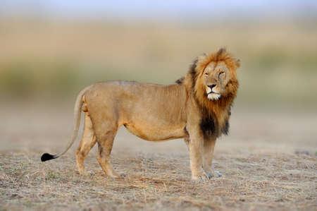African lions, Panthera leo, Masai Mara National Park, Kenya, Africa. Cat in nature habitat. Greeting of cats