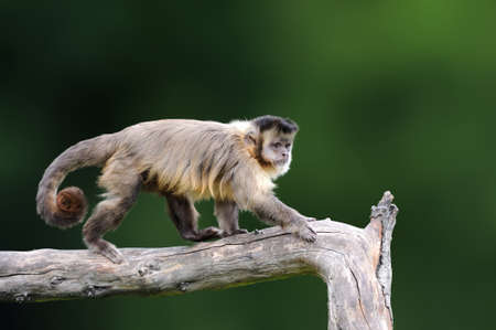 Capuchin, monkey sitting on the tree branch in the dark tropic forest. Capucinus in green tropic vegetation. Animal in the nature habitat