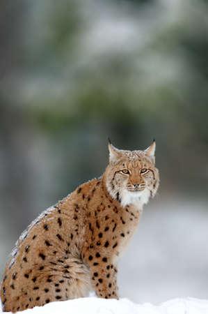 Lynx, Eurasian wild cat walking on forest in background. Beautiful animal in the nature habitat. Wildlife hunting scene Lizenzfreie Bilder