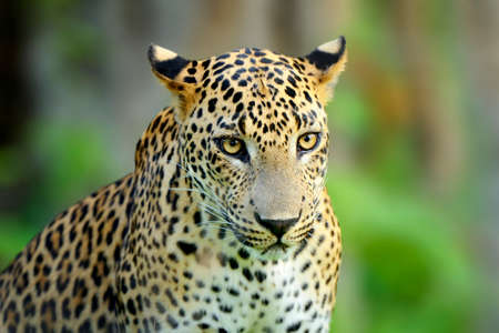 Walking Sri Lankan leopard, Big spotted wild cat lying in the nature habitat, Yala national park, Sri Lanka. Widlife scene from nature. Leopard in green vegetation Lizenzfreie Bilder