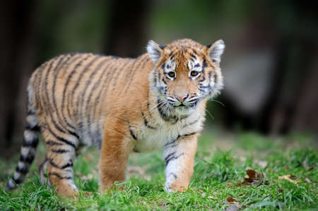 Summer with tigris. Siberian tiger in beautiful habitat. Danger animal. Amur tiger in the grass