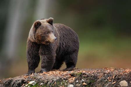 Big brown bear in the nature habitat. Wildlife scene from nature. Dangerous animal in nature
