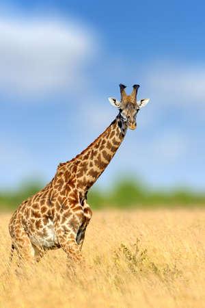 Giraffe in the nature habitat, Kenya, Africa. Wildlife scene from nature. Big animal from Africa