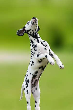 Adorable dalmatian dog outdoors in summer. Active cute dalmatian on green meadow Lizenzfreie Bilder