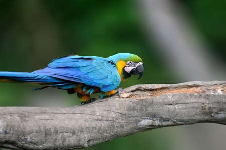Wild parrot bird, blue parrot Great-Green Macaw, Ara ambigua. Wild rare bird in the nature habitat. Blue big parrot sitting on the branch