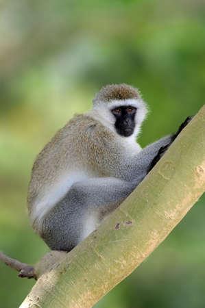 Vervet monkey sitting on branch, nature habitat, Sri Lanka. Feeding scene with langur. Wildlife of Sri Lanka. Monkey in nature habitat, clear background and foreground. Lizenzfreie Bilder