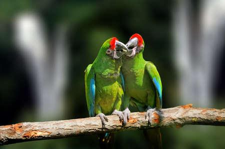 Wild parrot bird, green parrot Great-Green Macaw, Ara ambigua. Wild rare bird in the nature habitat. Green big parrot sitting on the branch