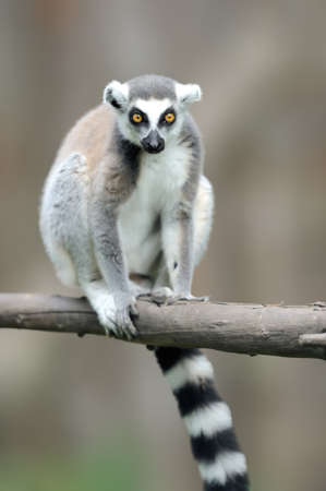 Ring-tailed Lemur, Lemur catta, with clear background. large strepsirrhine primate in the nature habitat. Cute animal from Madagascar. Beautiful Lemur relaxing in the forest