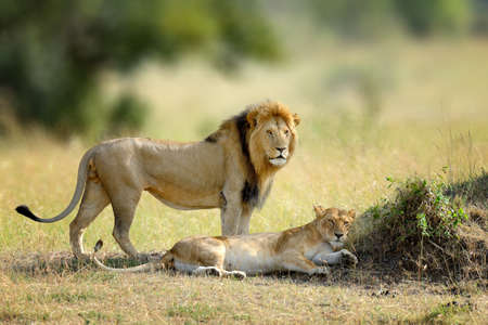 African lions, Panthera leo, Masai Mara National Park, Kenya, Africa. Cat in nature habitat. Greeting of cats, male and female
