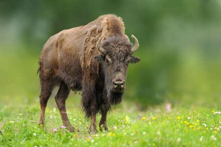 European bison in the summer meadow with flowers, summer scene with big brown animal in the nature habitat Lizenzfreie Bilder