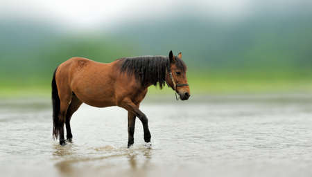 Brown horse in the river. Beautiful brown animal in the nature habitat. Wild horse in the nature.