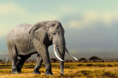 African Elephant, Masai Mara National Park, Kenya. Wildlife scene in nature habitat Lizenzfreie Bilder