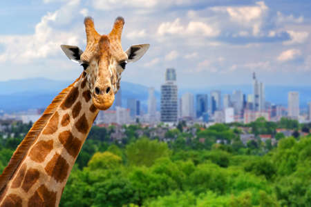 Panoramic view from a lonely giraffe with the city of on the background
