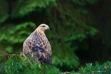 Close eagle on branch in forest Stock Photo