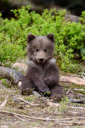 야생 갈색 곰 새끼 근접 스톡 콘텐츠
