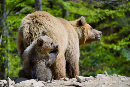 Brown bear with cubs in forest