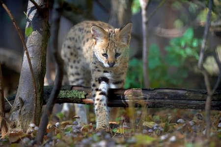 Close young serval cat (Felis serval)