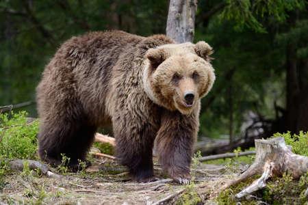 Grote bruine beer in het bos in de zomer Stockfoto