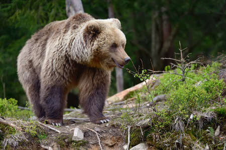 Big brown bear in the forest in the summer