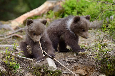 Junger Braunbär im Wald. Portrait des braunen Bären. Tier im Naturlebensraum. Junges Braunbär ohne Mutter. Lizenzfreie Bilder