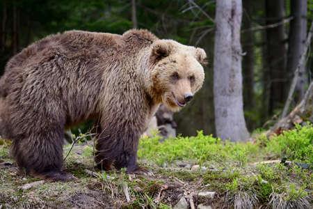 Großer Braunbär im Wald im Sommer