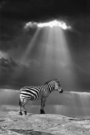 Zebra in the wild - National park Kenya. Black and white image Lizenzfreie Bilder