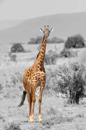 Giraffe in National park of Kenya, Africa. Black and white photography with color giraffe