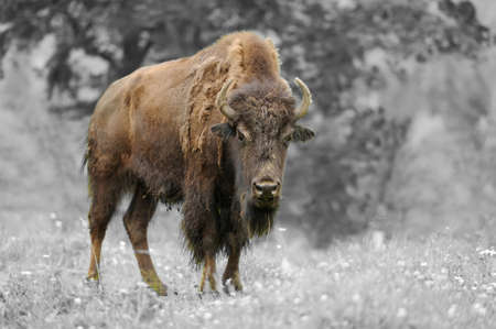 Large male of bison in the forest. Black and white photography with color bison