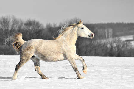 Horse runs gallop on the winter field. Black and white photography with color horse Lizenzfreie Bilder