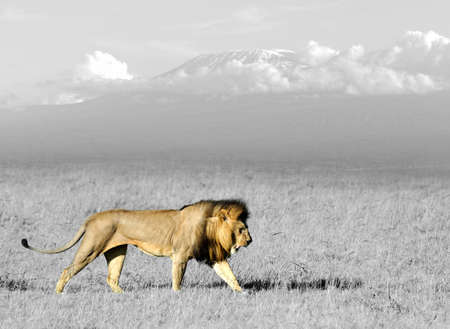 Lion in the grass of Masai Mara, Kenya. Black and white photography with color lion