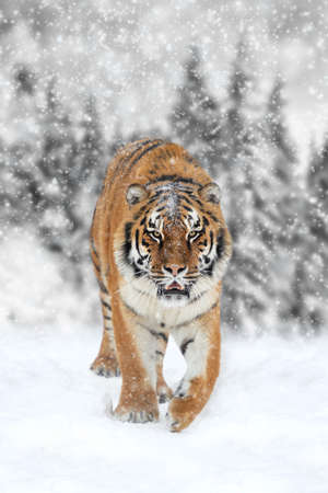 tigresa: Beautiful wild siberian tiger on snow. Black and white photography with color tiger Foto de archivo
