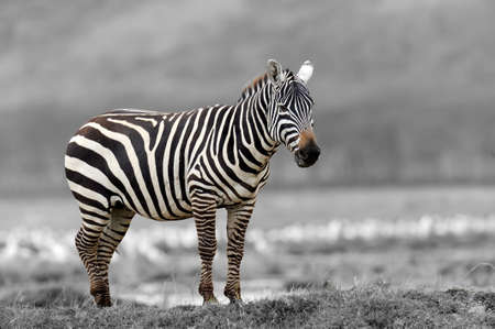 Zebra in the National Reserve of Africa, Kenya. Black and white photography with color zebra Lizenzfreie Bilder