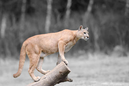 Black and white photography with color puma on branch