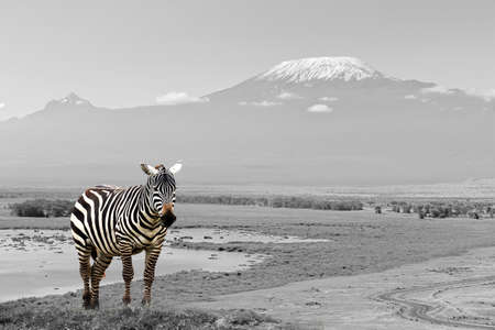 Zebra in National Park. Africa, Kenya. Black and white photography with color zebra