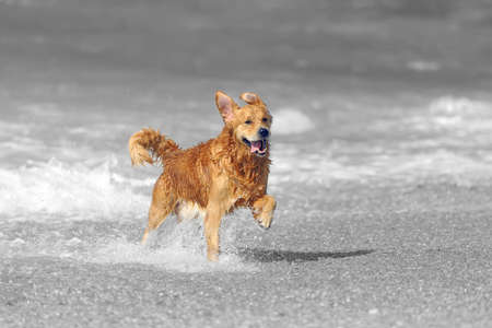 Young golden retriever running on the beach. Black and white photography with color dog