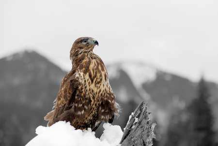 Hawk on a branch in winter mountain. Black and white photography with color hawk