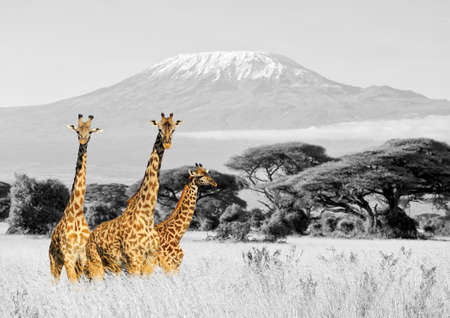 Close giraffe in National park of Kenya, Africa. Black and white photography with color giraffe