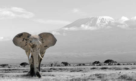 Elephant in the national park in Kenya. Black and white photography with color elephant