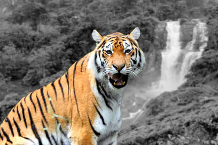 Amur Tigers on a geass in summer day. Black and white photography with color tiger