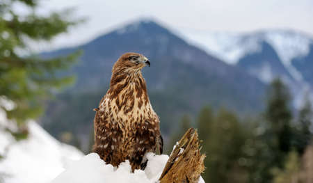 Hawk on a branch in forest Banque d'images