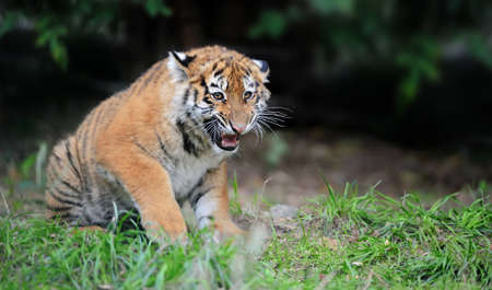 Close up siberian tiger cub in grass