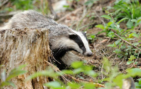 Badger near its burrow in the forest
