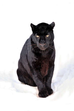 Close up black leopard on snow