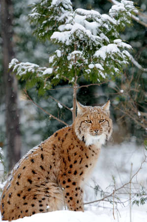 Young lynx in winter forest