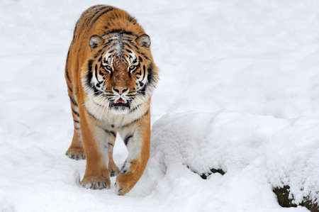 Close wild siberian tiger in winter time Standard-Bild