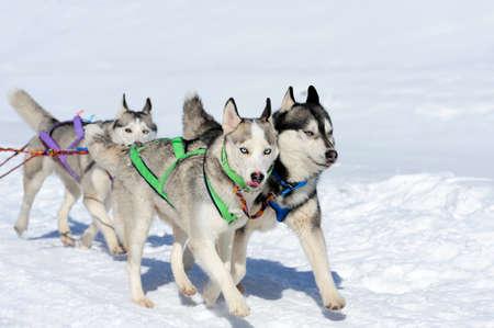 Huskyhunderasse des Schlittens im Winter auf Schnee