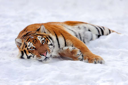 Close wild siberian tiger in winter time Foto de archivo